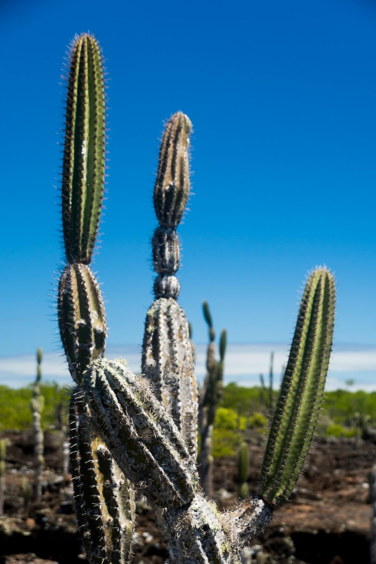 ガラパゴス諸島 カクタス 植物 自然 島々 工場 植生 空 フローラ ヘッジホッグサボテン バイオーム 花 カリオフィルス 棘と棘 木 アカントセレウス・テトラゴヌス 風景