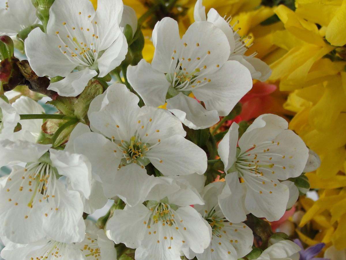 Immagini belle bianca fiorire primavera fiore di for Pianta di ciliegio