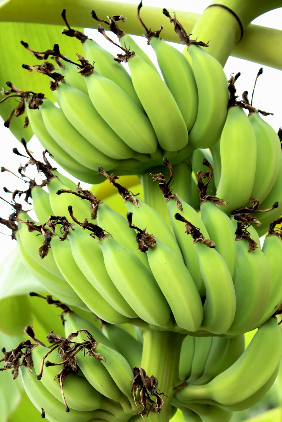 Images Gratuites : vert, tropical, aliments, fruit, banane..