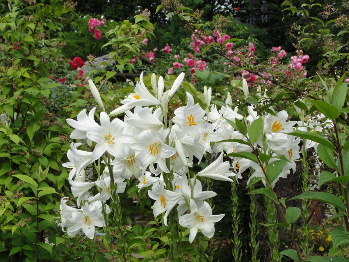 images gratuites lilium candidum lis blanc fleur plante fleurs flore printemps jardin. Black Bedroom Furniture Sets. Home Design Ideas