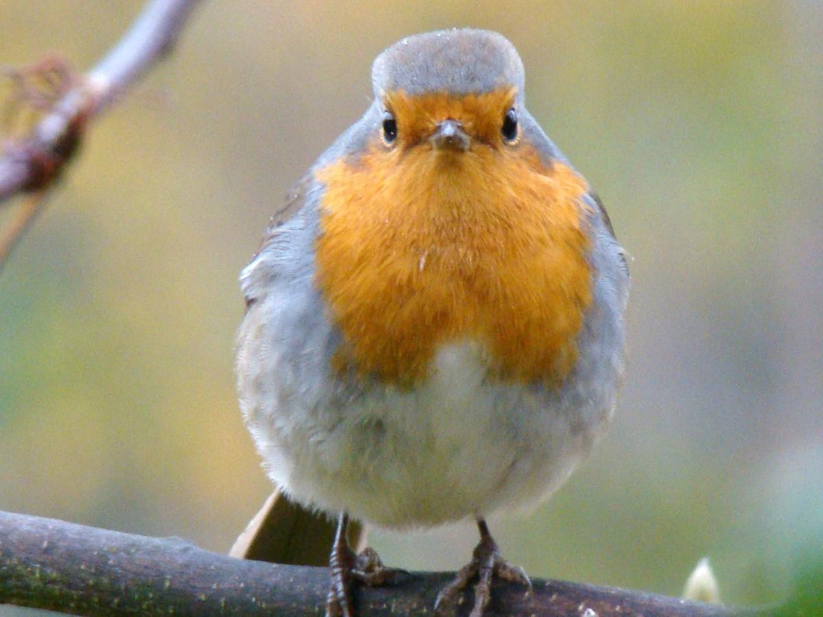 для певчие птицы украины фото можно использовать для