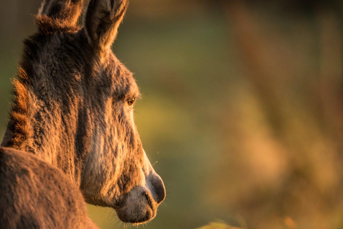 æsel, natur, Skov, dyreliv, vild, pattedyr, dyr, hvirveldyr, billede, gratis, yndefuld, imponerende, grøn, gul, sæson, kunst, farve, skønhed, held, solnedgang, fauna, hest som pattedyr, hest, manke, snude, mustang hest, tæt på, pels, pack dyr, træ