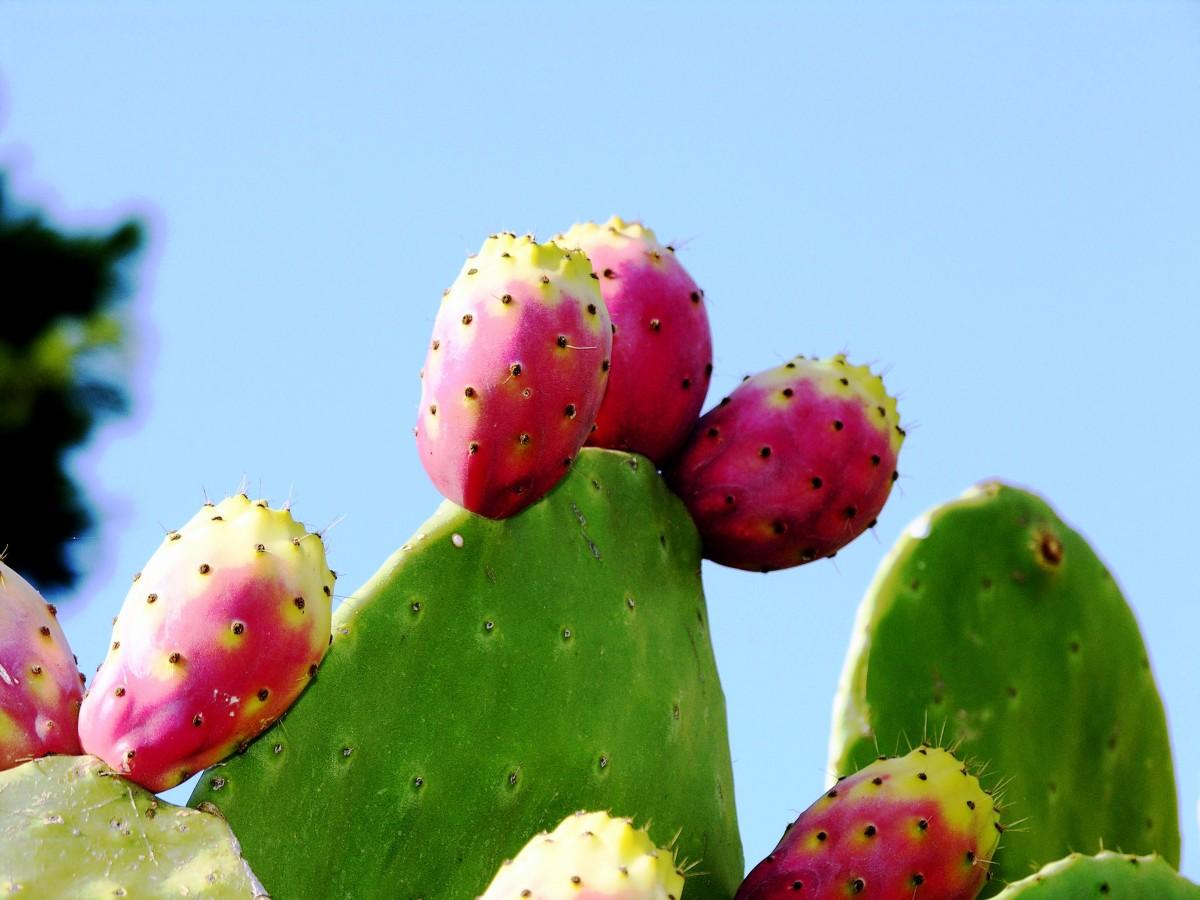 シチリア島 自然 野蛮なイチジク フルーツ カクタス かわいい梨 工場 ノパール 開花植物 東部の梨 作物 棘と棘 カリオフィルス