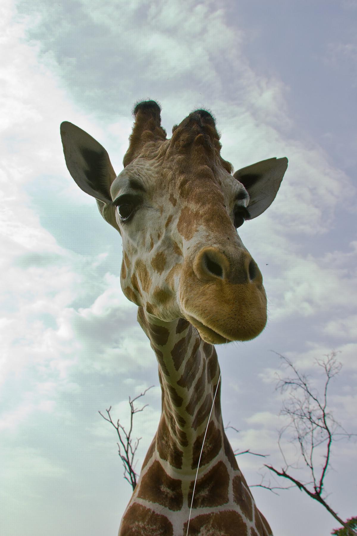 Картинки крокодил жираф