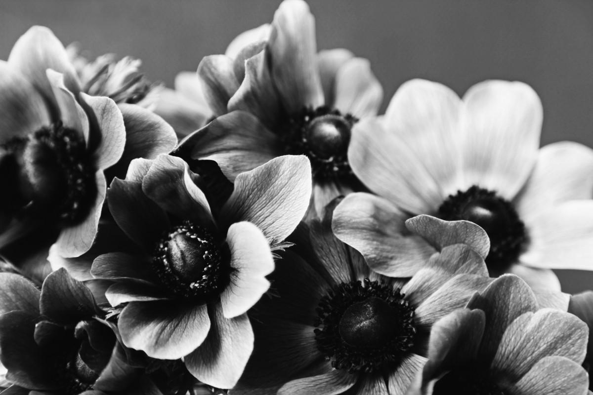 Gambar Gelap Anemon Hitam Dan Putih Bunga Bunga Buket Satu
