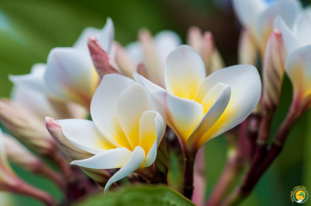 images gratuites plumeria fleur flore fermer p tale plante fleurs printemps fleur. Black Bedroom Furniture Sets. Home Design Ideas