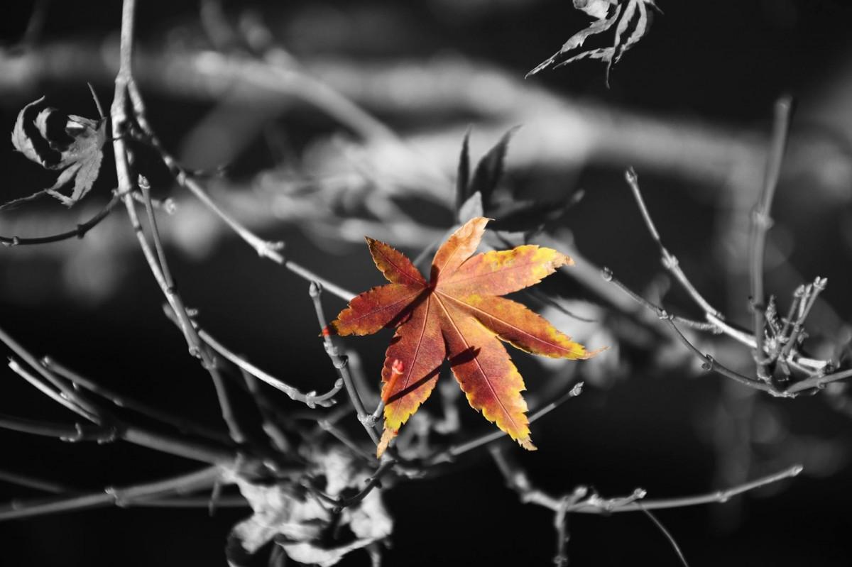 images gratuites fleur abstrait fleur fond flore feuille d 39 rable branche l 39 automne. Black Bedroom Furniture Sets. Home Design Ideas