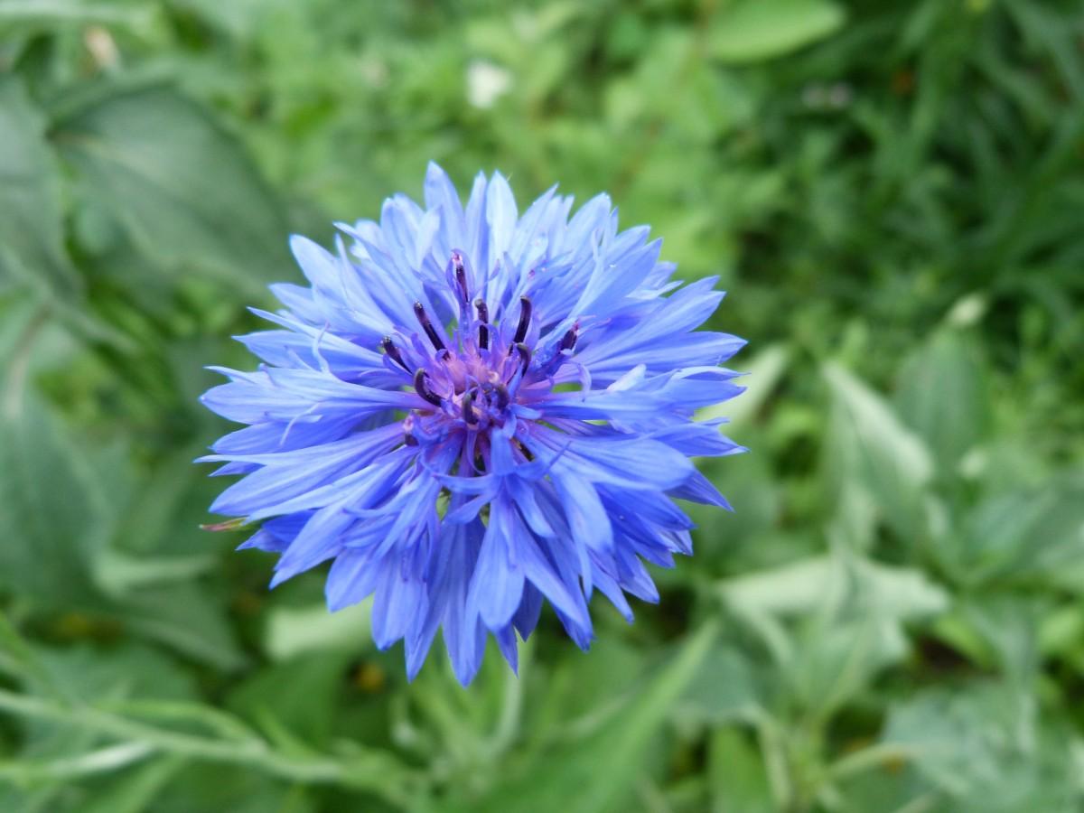 Free Images Cornflower Blue Flower Perennial Summer Flower
