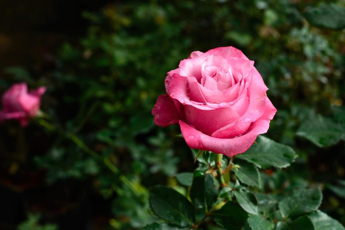Immagini belle giardino giardini fiore rosa natura for Rose da giardino