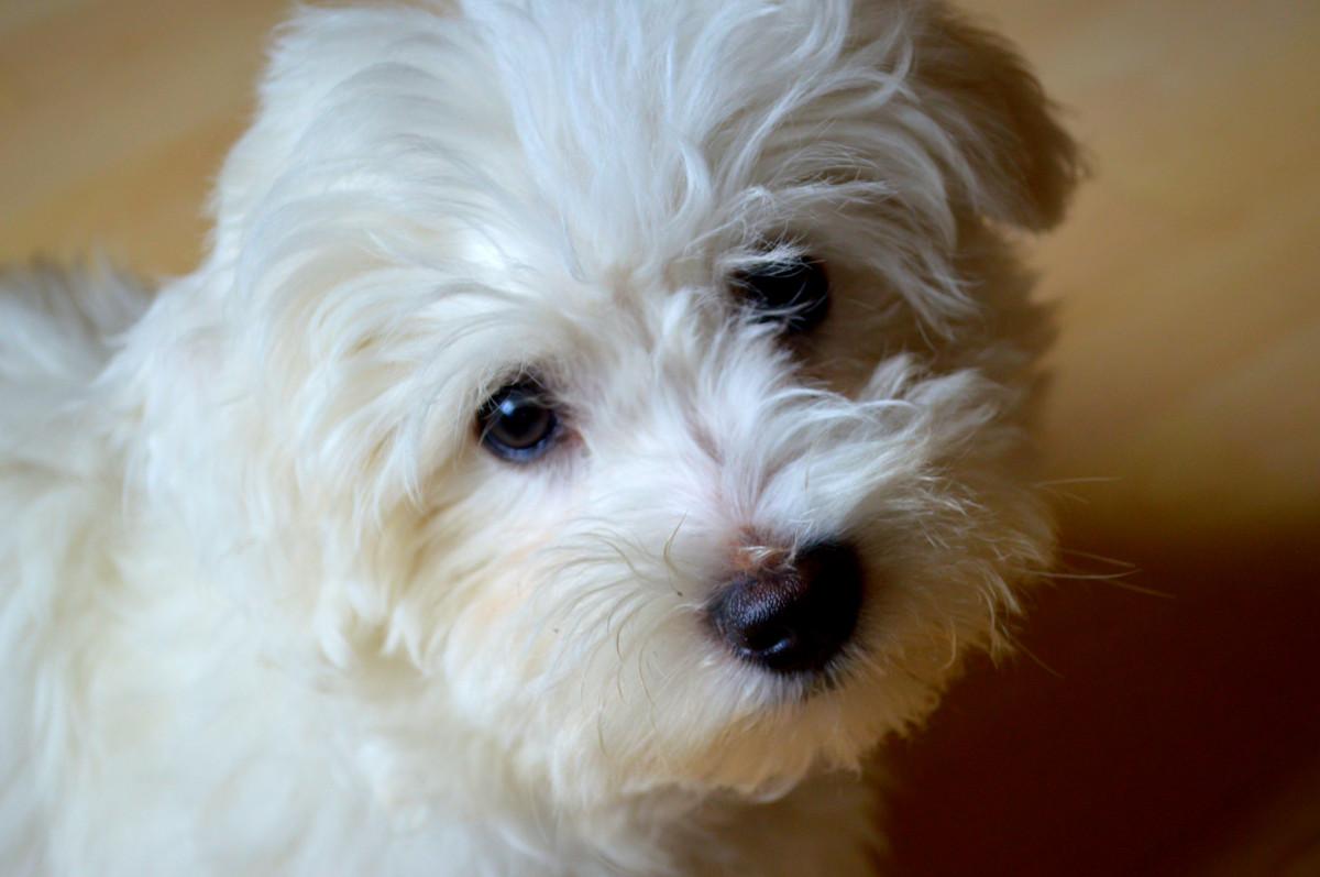 Images gratuites animal chien comme un mammif re - Couper les griffes d un chiot ...