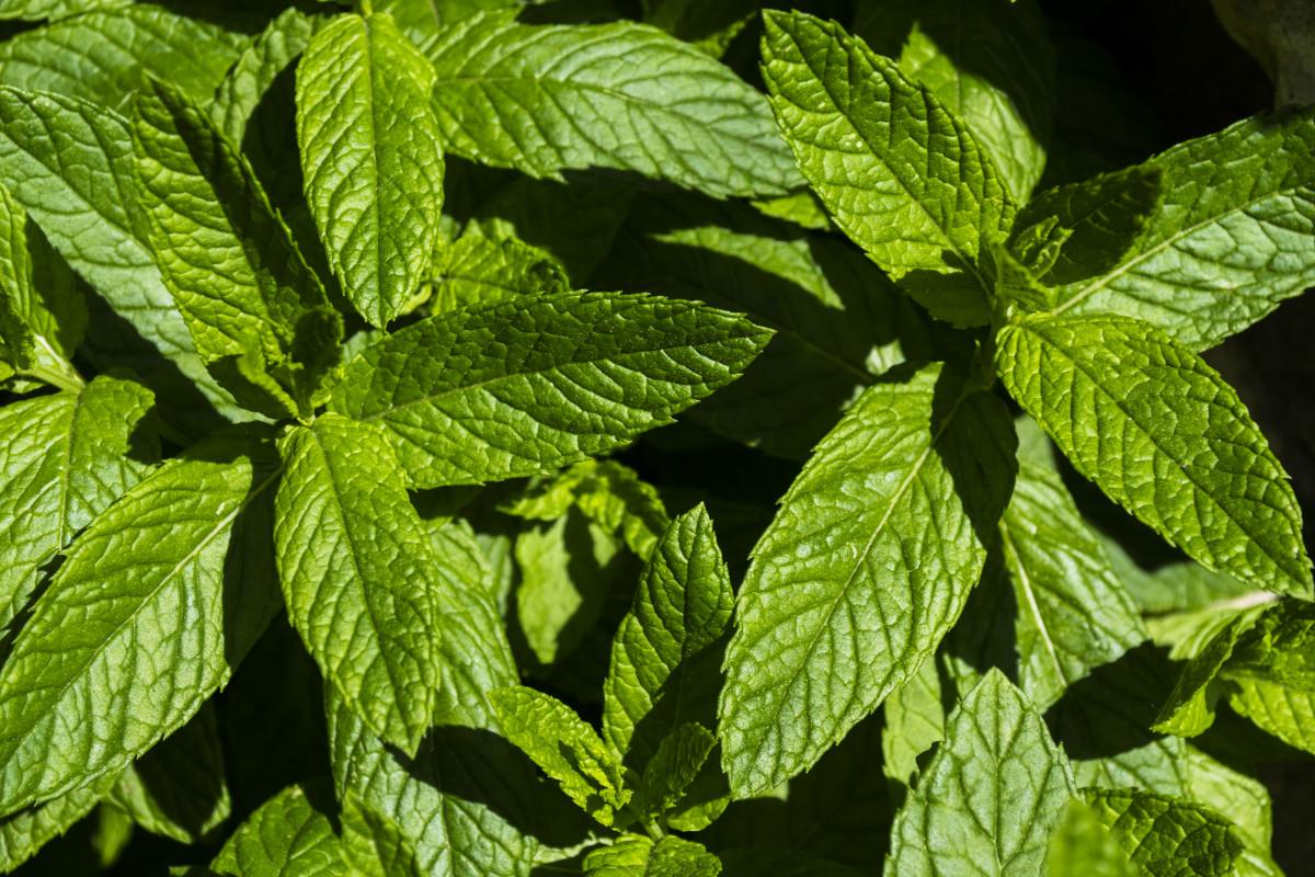 les plantes menthe poivrée jardin plante feuille herbe menthe verte Famille d'orties