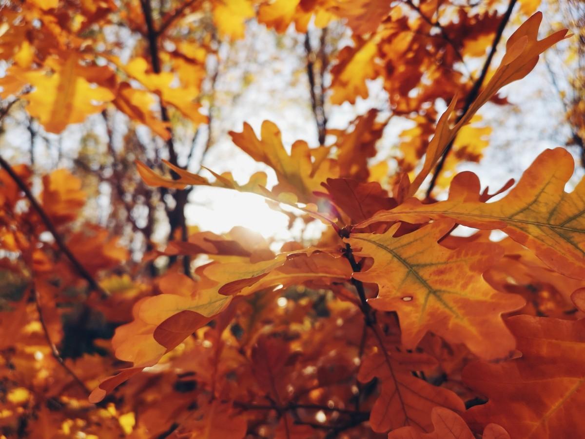 hình ảnh : Mùa thu, màu vàng, mặt trời, Lá, chi nhánh, Rụng lá, lá phong, Cây gậy, Mùa xuân, Ánh sáng mặt trời, Hình nền máy tính, Cây maidenhair, ...