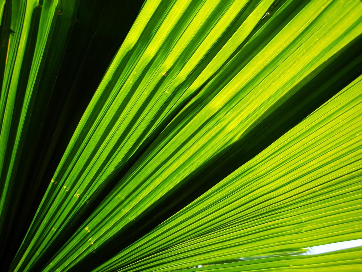 grön, blad, palmträd, Palmblad, flora, fertilitet, regnskog, djungel, skog, träd, trä, skog, vild, nationalpark, natur, äventyr, vilda djur och växter, miljö, tropisk, moder Jord, hälsa, läkning, vildmark, vegetation, naturreservat, gren, växter, ekosystem, tropikerna, amason, paradis, gul, Colorfulness, mönster, linje, ljus, design, närbild, symmetri, arecales, grafik, sågpalmetto, Bakgrundsbilder In PxHere