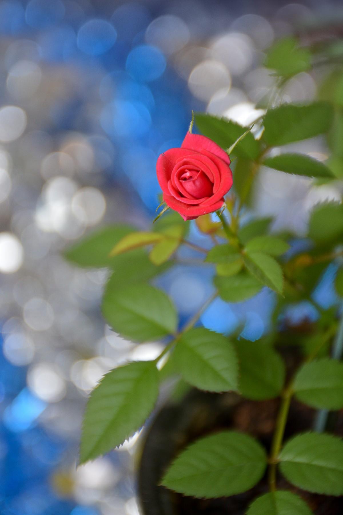Free Images : home, flower, red, leaves, flowering plant, blue, petal, garden roses, rose family ...