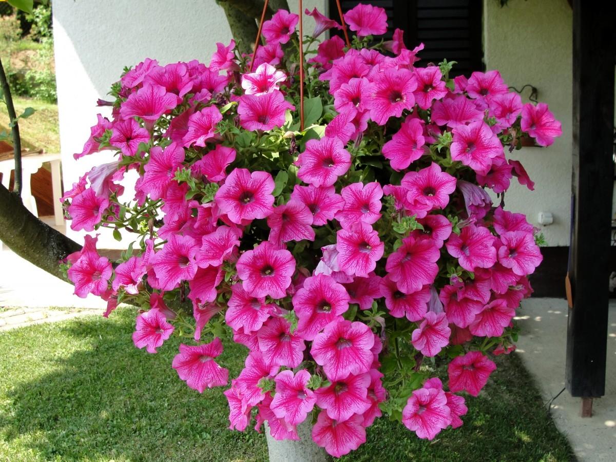 kostenlose foto surfinia blume strauch bl hende pflanze j hrliche pflanze azalee rosa. Black Bedroom Furniture Sets. Home Design Ideas