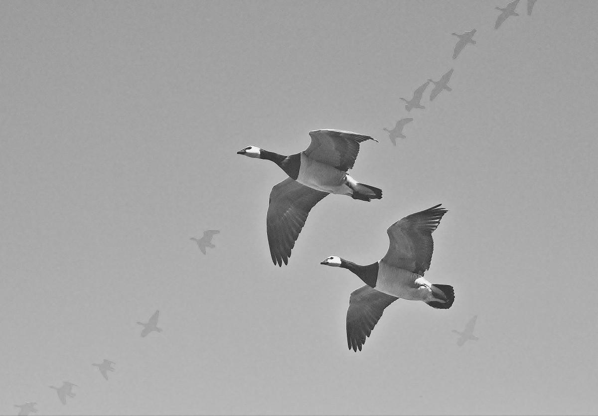 Прикольные картинки гуси летят