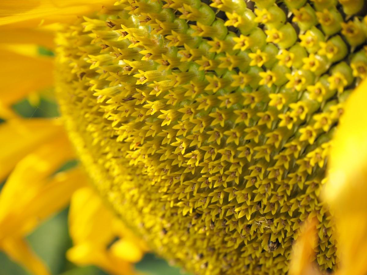 images gratuites jaune fleur graines de tournesol pollen fermer macrophotographie. Black Bedroom Furniture Sets. Home Design Ideas