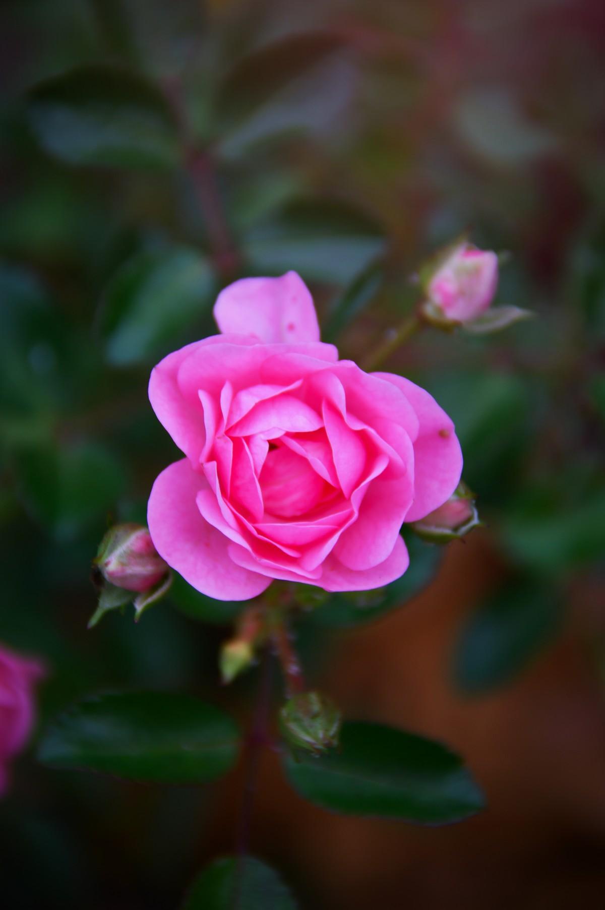 Самые красивые картинки роза бойлер гостиной выбор