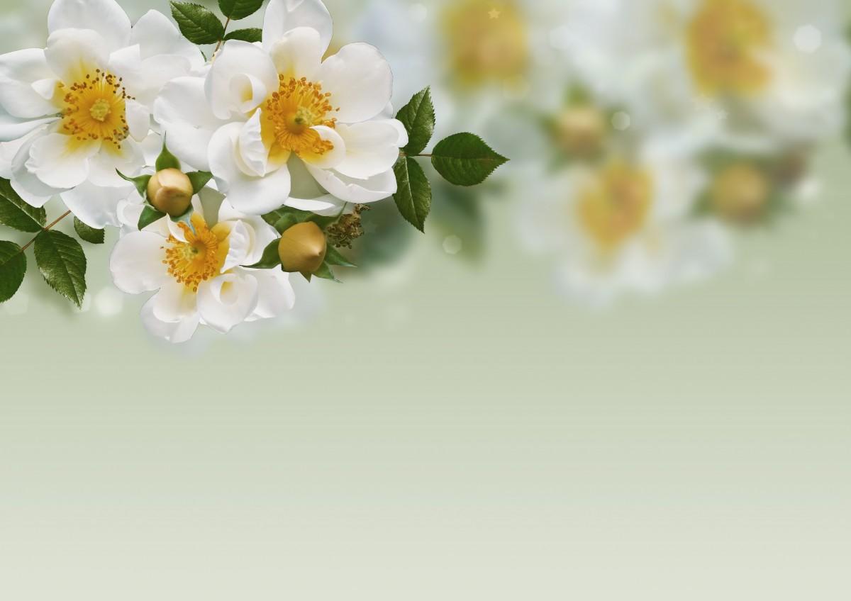 banco de imagens   floresce  flores  fundo  rosa