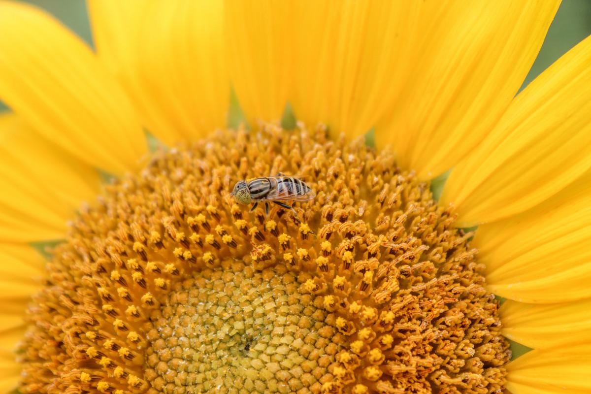 kwiat, słonecznik, żółty, pszczoła miodna, pyłek, pszczoła, nektar, ziarna słonecznika, ścieśniać, Membrana skrzydlate owady, Fotografia makro, płatek, organizm, rodzina stokrotka, zapylacz, owad, pyłek pszczeli, bezkręgowy