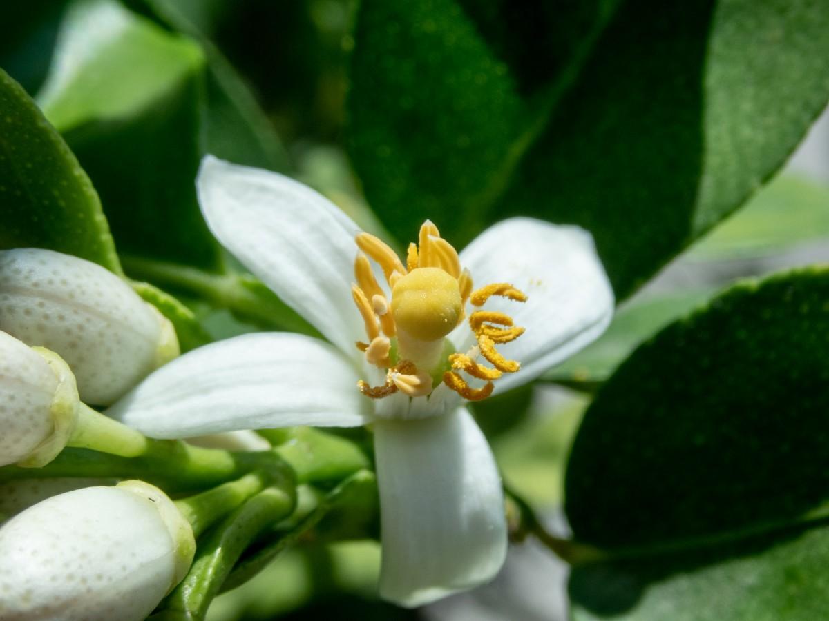 Free Images Flower Citrus Lemon Blooming Flowering Plant