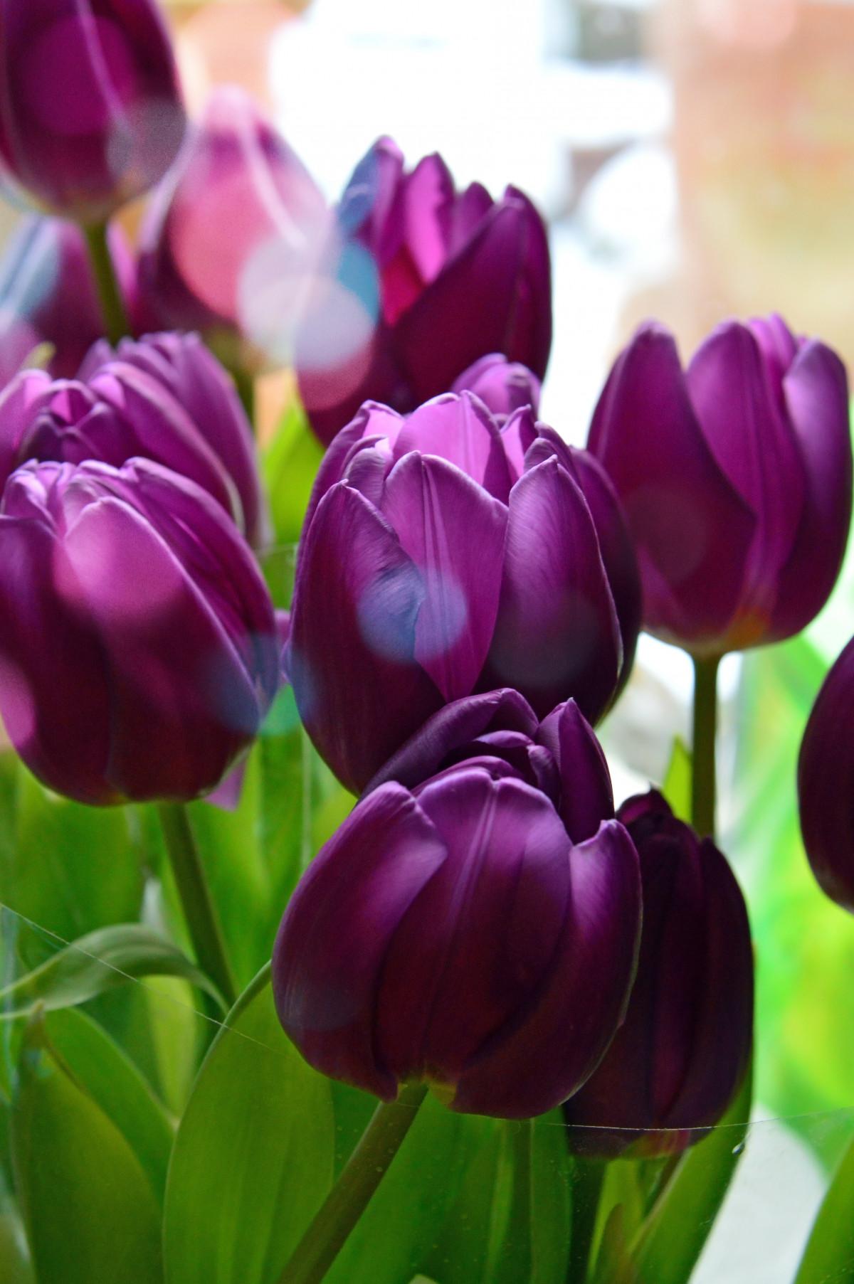 Открытки фиолетовые тюльпаны, картинки