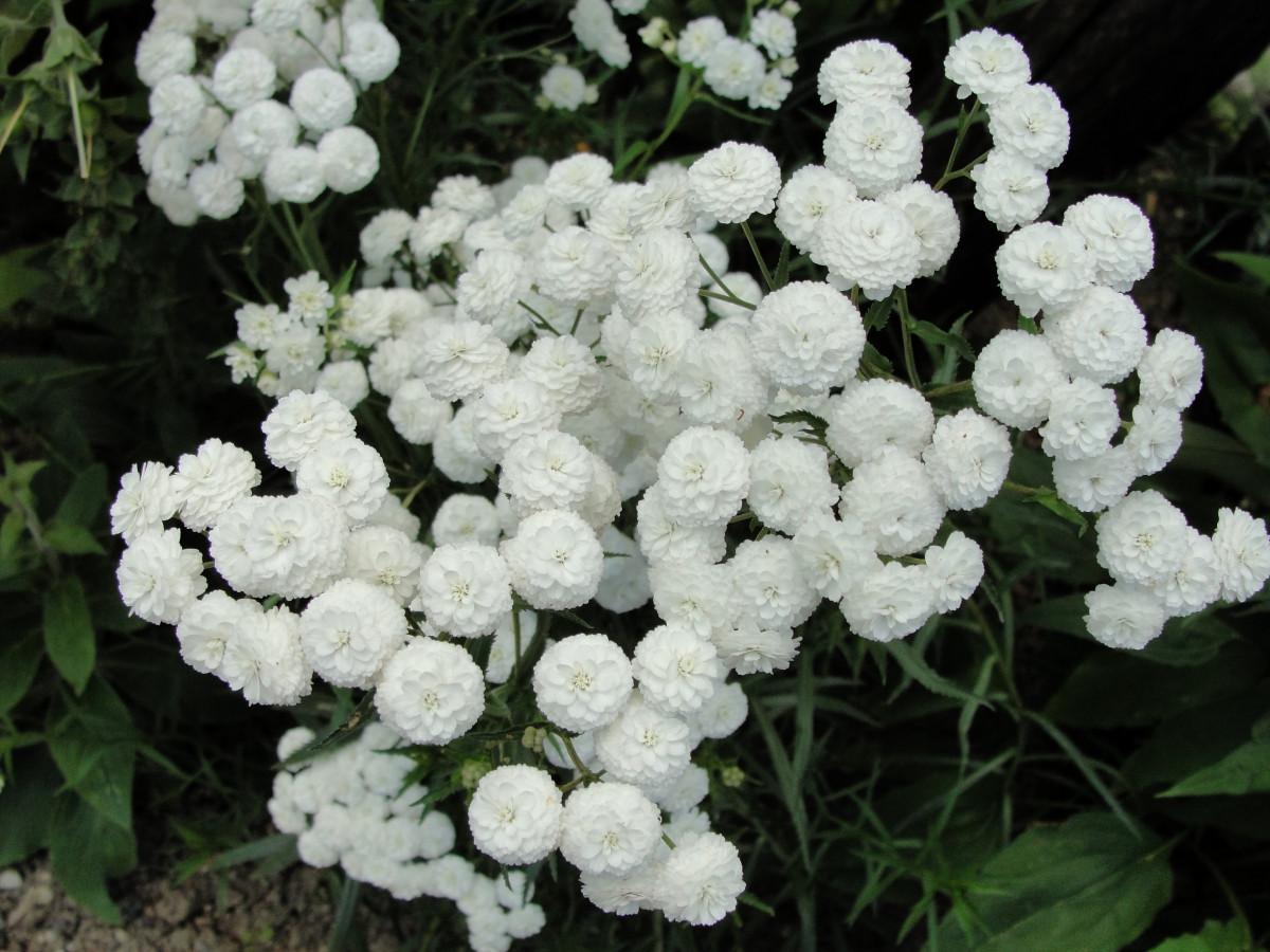 калина фото растение