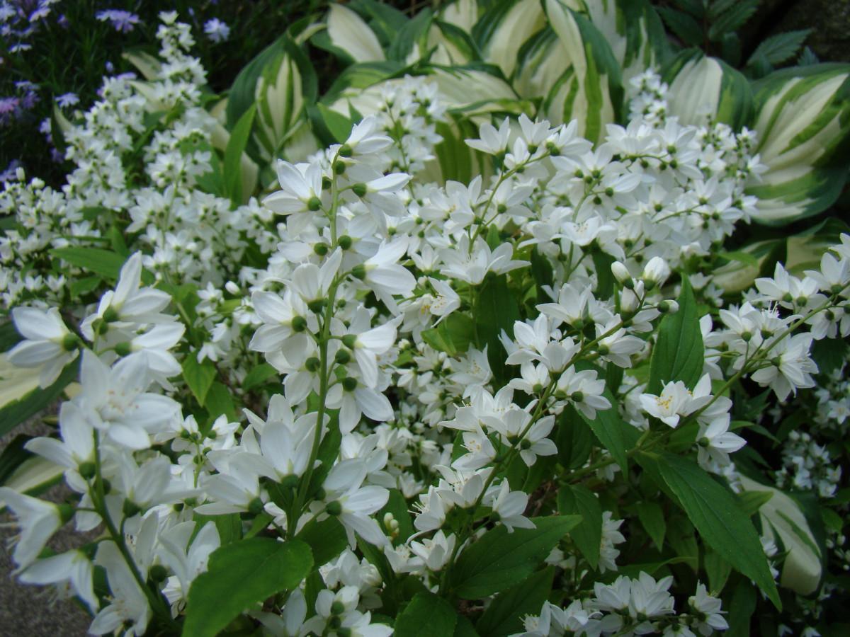 images gratuites : fleur, blanc, plante, arbuste, jasmin 3456x2592