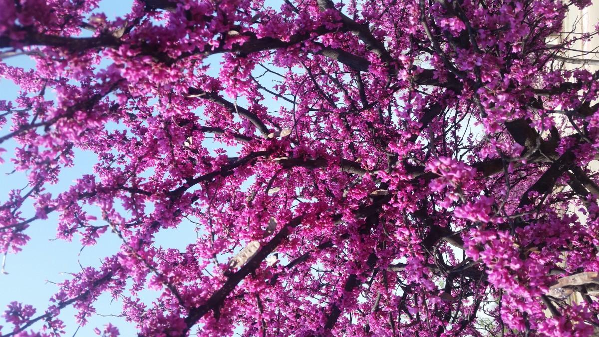 оставьте картинка сакуры дерево сиреневая есть цель