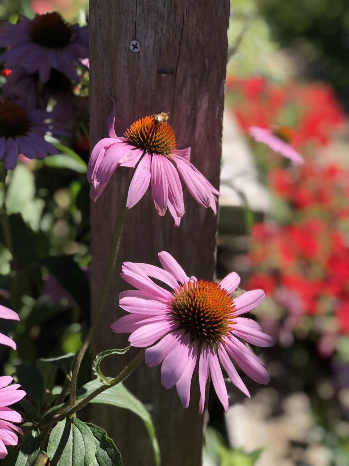 Free images flower stem bumblebee honey bee pink magenta flower stem bee bumblebee honey bee pink magenta wood post garden plant flora coneflower flowering plant mightylinksfo