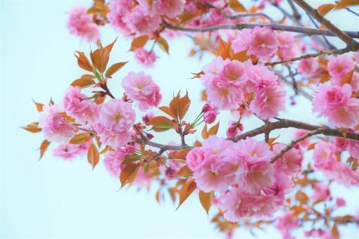 Japán virágzó cseresznye növényi profil