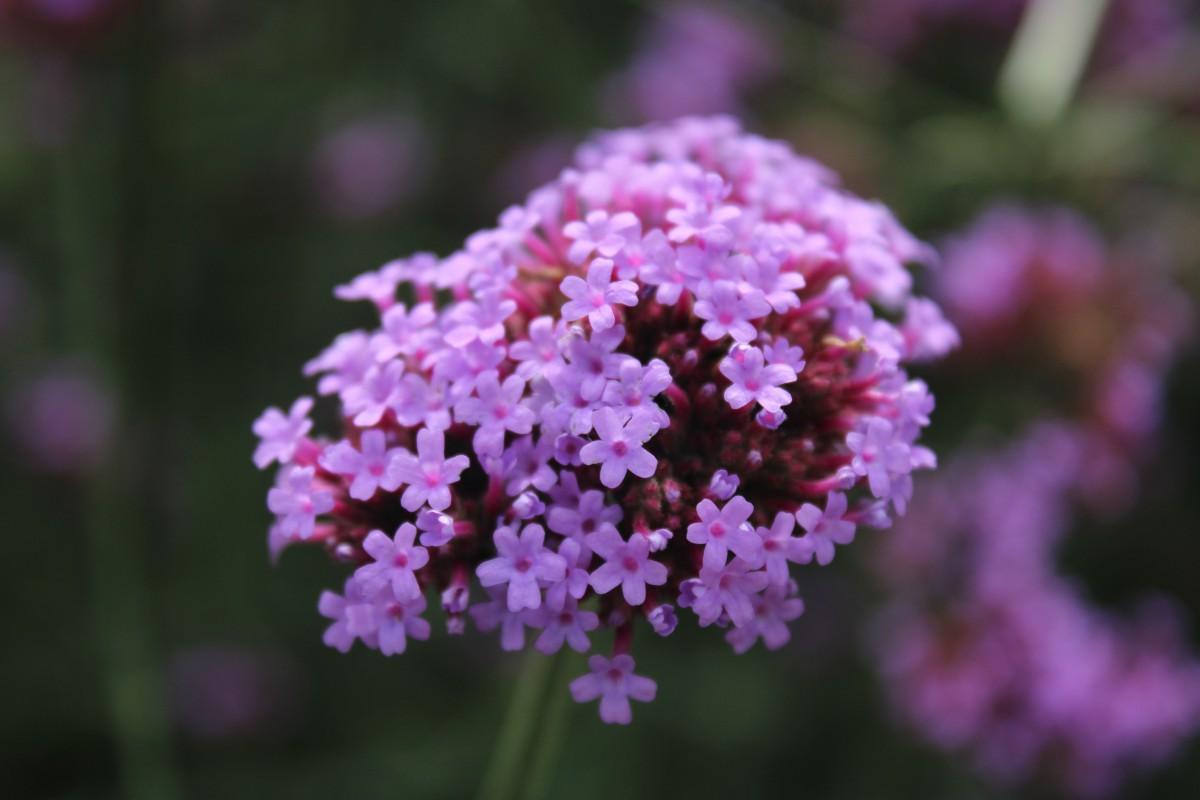 fiore pianta fiorita pianta rosa viola lilla primavera petalo Thymus serpyllum valeriana verbena buddleia pianta annuale famiglia verbena erba arbusto pianta perenne