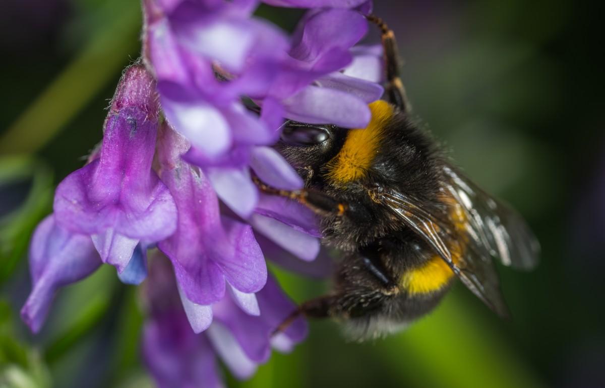Картинки шмель пчела
