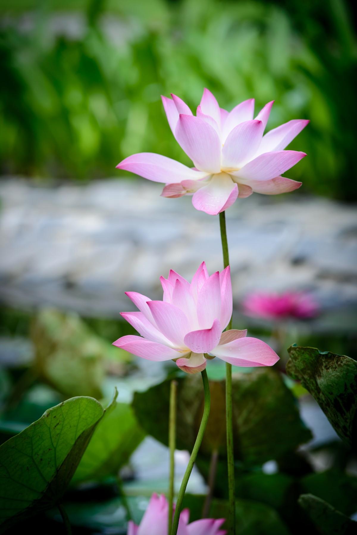Gambar Bunga Teratai Cantik Indah Baik Nyaman Alam