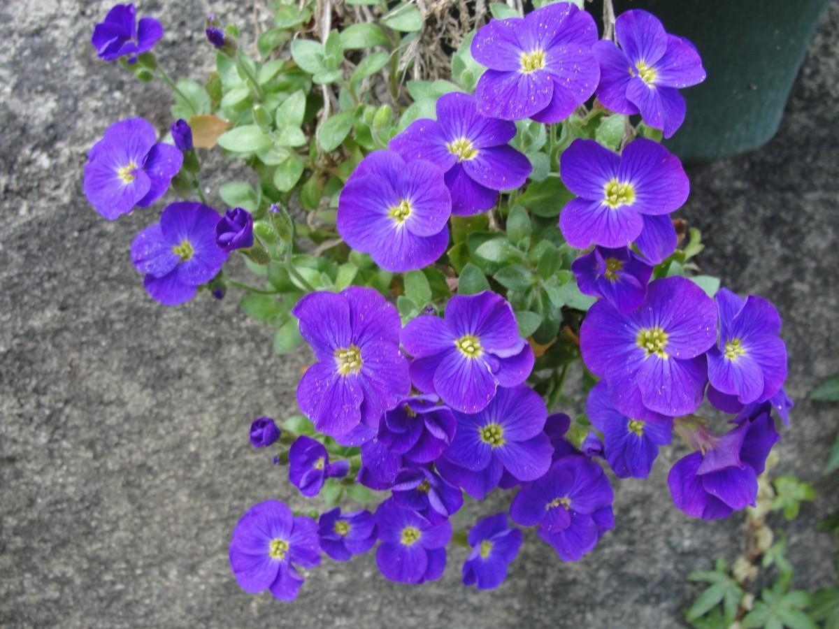 kostenlose foto blume blau violett aubretia lila bl hende pflanze flora violette. Black Bedroom Furniture Sets. Home Design Ideas