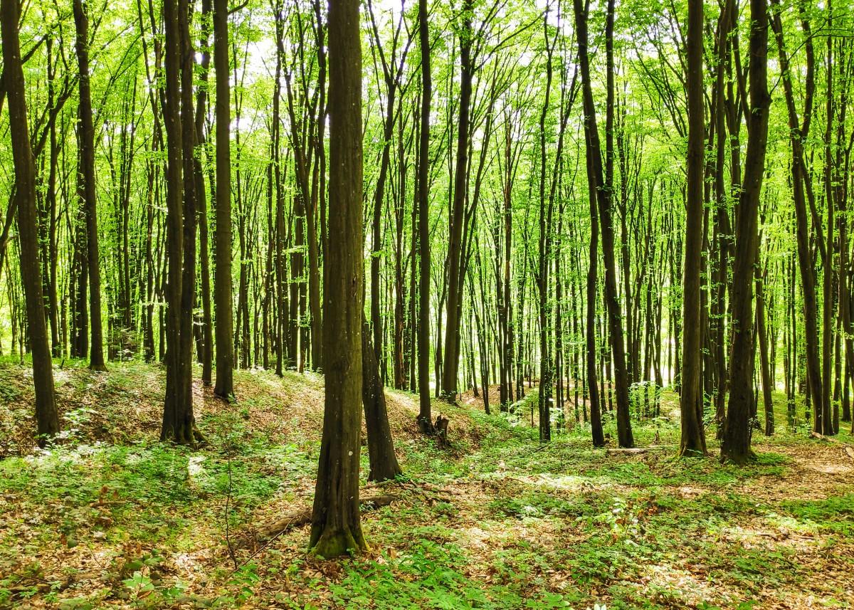 森林, 木, 森林, 自然環境, 自然の風景, 熱帯および亜熱帯の針葉樹林, Northern hardwood forest, 古い成長林, 自然, 自然保護区, グローヴ, トウヒの森林, 植生, 温帯広葉樹と混合林, バイオーム, 緑, 木質植物, 工場, 温帯性針葉樹林, ヴァルディヴィアン温帯雨林, トランク, 太陽光, 葉, 落葉, 草, 森林, 春, 赤松, 木材, 陸生植物, 植物コミュニティ, ジャングル, 植物の茎, パス, 無料画像 In PxHere