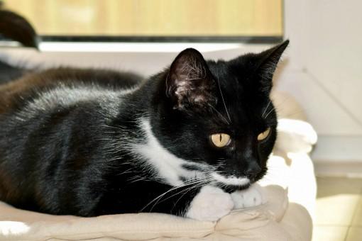 čierna Veľká mačička