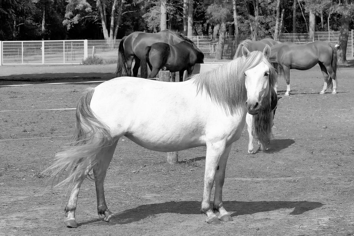 Black and white horses