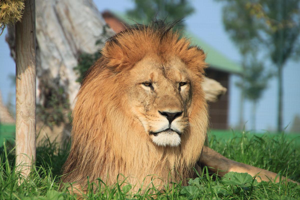 Images gratuites aventure animal faune zoo crini re - Photos de lions gratuites ...