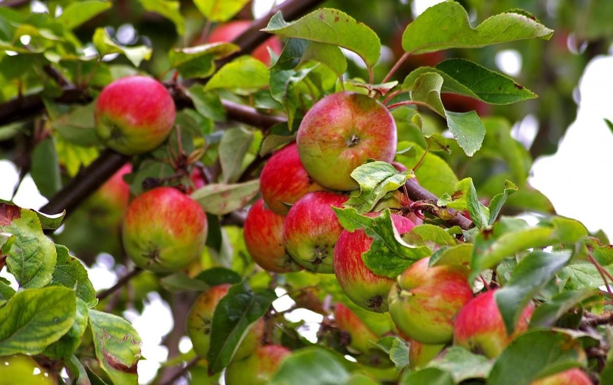 яблоко, дерево, природа, филиал, растение, фрукты