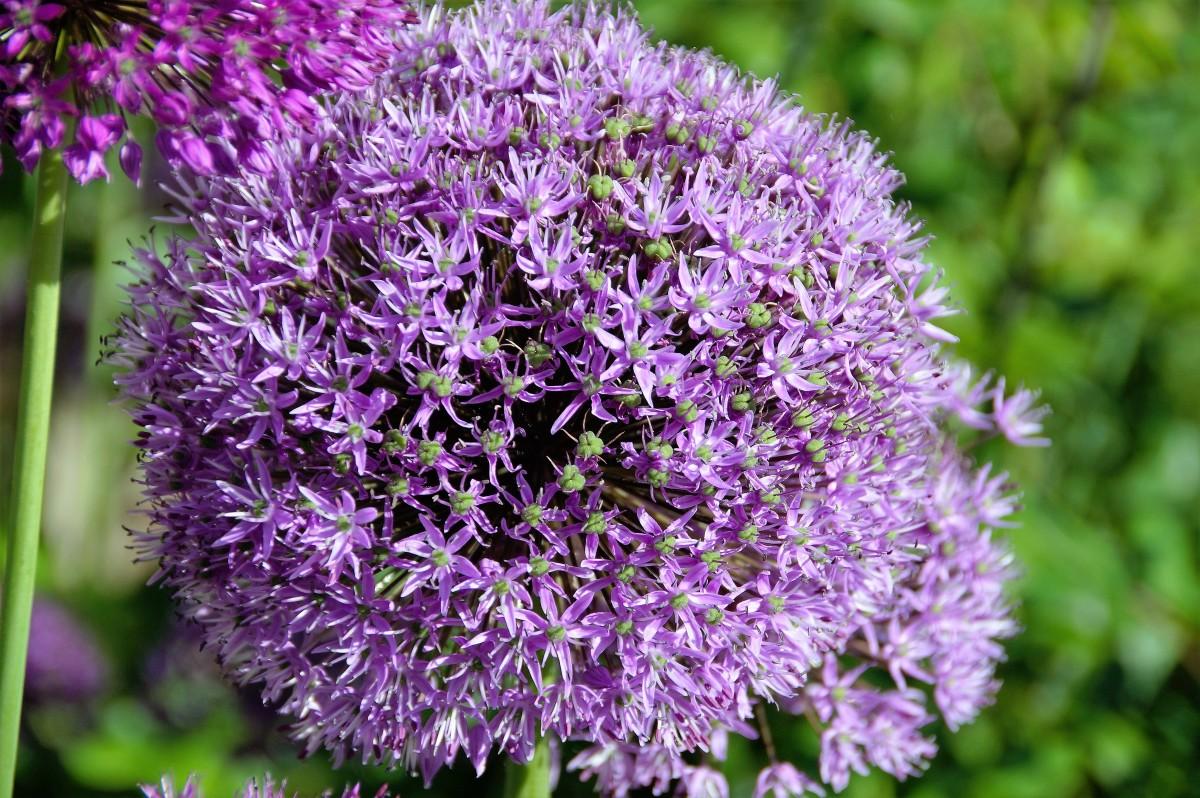 Kostenlose foto natur blume lila knoblauch makro - Duftende gartenpflanze ...