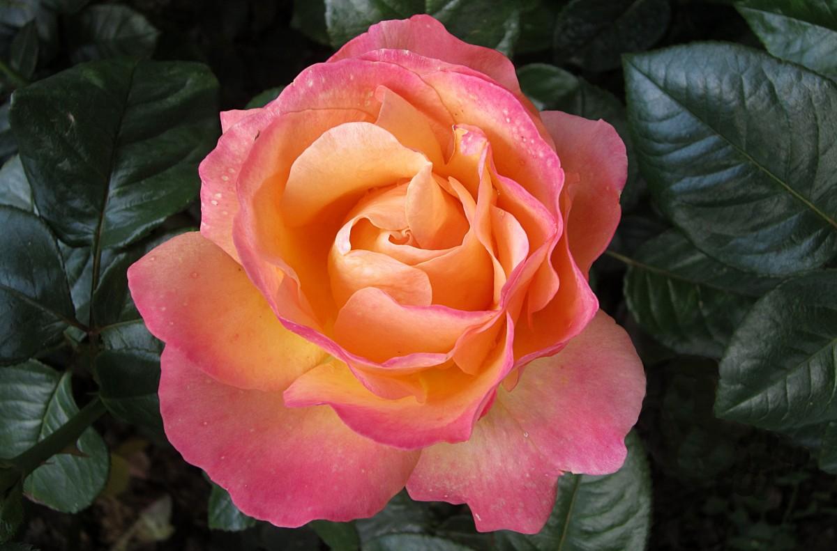 banco de imagens plantar flor p tala rosa fechar