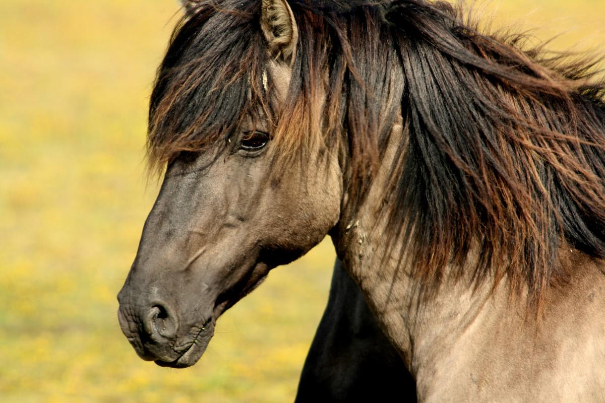 naturaleza prado caballo mamífero semental melena fauna de cerca Animales cabeza vertebrado yegua potro potro Caballo como mamífero Mustang caballo