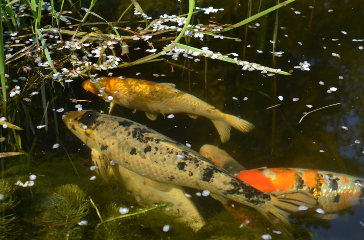 картинки рыб прудовых предпочитают считать