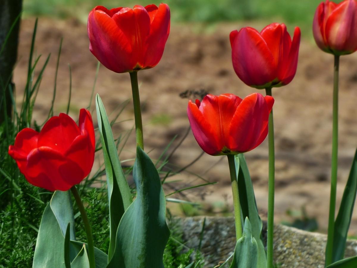 породили его картинки с красными тюльпанами самые