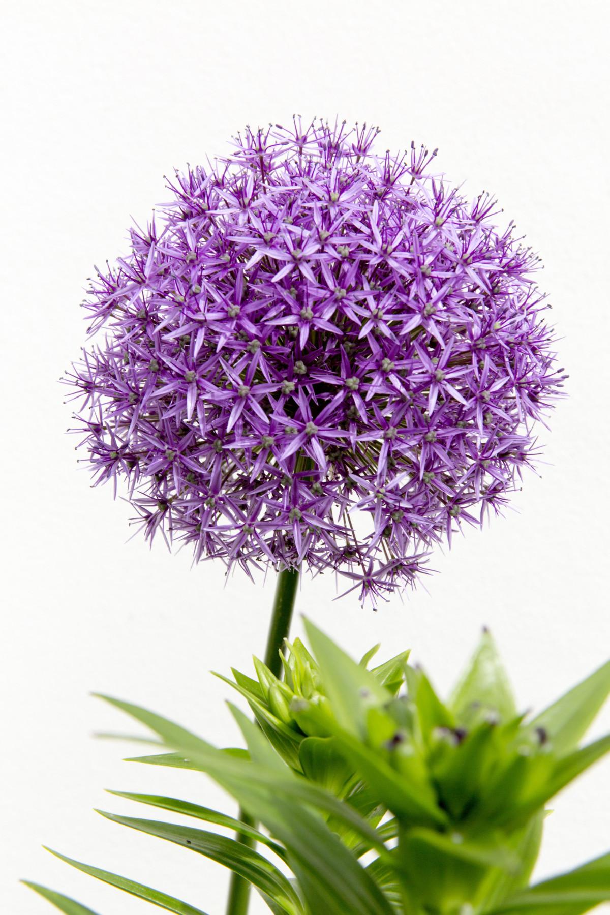 Fotos gratis flora lavanda flor silvestre - Lavanda clima ...