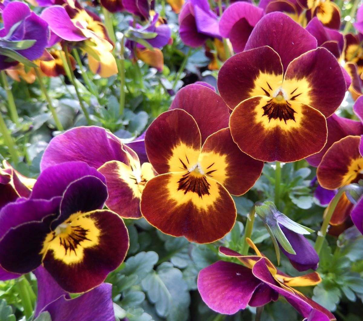images gratuites macro jardin flore fleur sauvage fleur mauve fleurs de printemps alto. Black Bedroom Furniture Sets. Home Design Ideas
