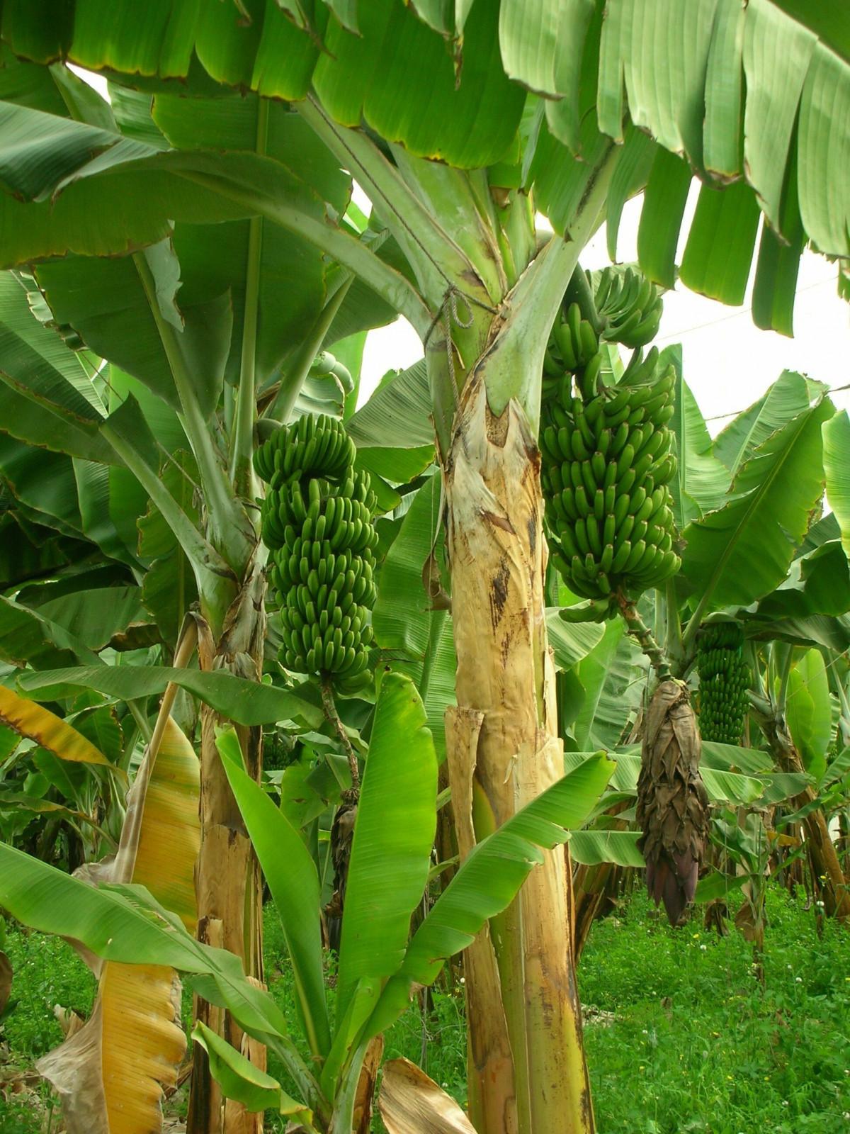 Картинки банановое дерево