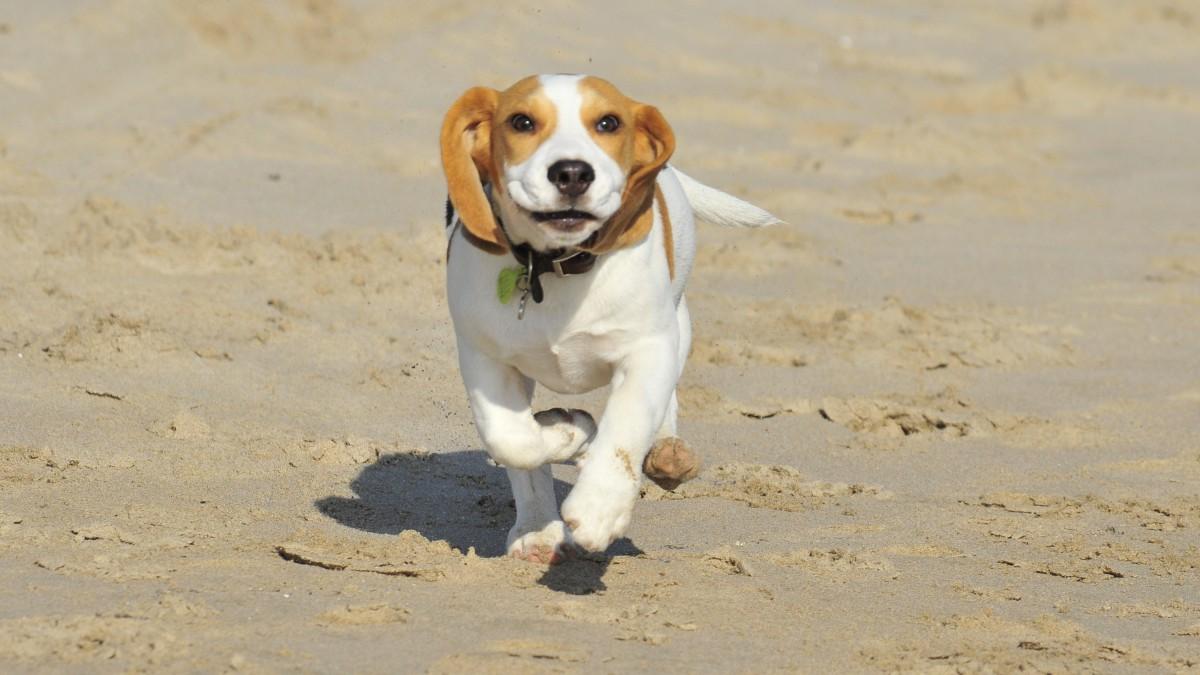 white puppy dog animal cute pet mammal friend hound loving look mammals vertebrate beagle harrier dog breed dog like mammal carnivoran dog crossbreeds american foxhound basset art sien normand english foxhound beag