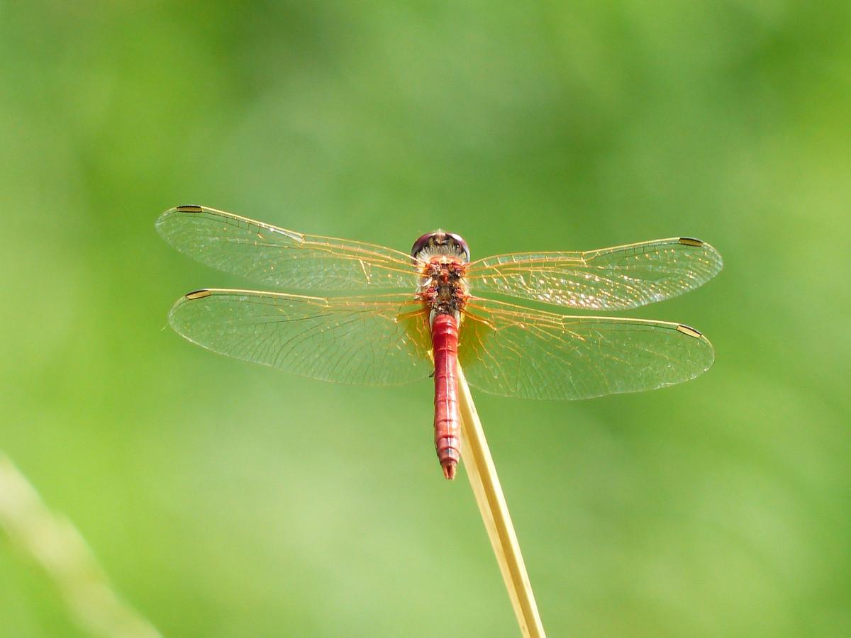 Images gratuites la nature aile la photographie vert - Insecte vert volant ...